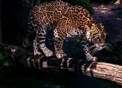 How the Jaguar, King of the Forest, Might Save Its Ecosystem